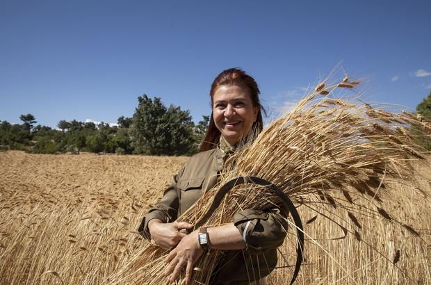 """Silifke'de ata tohumu sarı buğdayın ikinci hasadı yapılıyor Mersin Büyükşehir Belediyesi Başkan Vekili Gülcan Kış: """"Tarlada izi olanın harmanda sözü olur, ne mutlu ki, izimiz var, sözümüz var"""""""