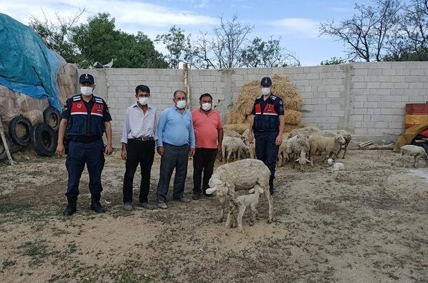Eskişehir'de çalınan 23 küçükbaş hayvan Afyonkarahisar'da bulundu Jandarma önce hırsızları, ardından koyunları buldu