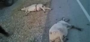 9 koyunu telef etti, kaçarken plakayı bıraktı