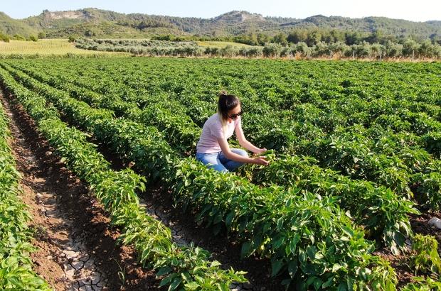 """""""Hayriye"""" yüz güldürecek Tescilli 'Hayriye Biberi' dekar başına 6 tonluk verimiyle üreticinin gözdesi oldu Tescilli ata tohumundan elde edilen biberler Ağustos'ta hasat edilecek İl Tarım ve Orman Müdürü Muhammet Ali Tekin: """"Çiftçinin kazancı 2'ye katlanacak"""" """"Çiftçilerin talebi seneye daha da artacak"""" Üretici Mehmet Çevik: """"Kazancımız yüksek olacak"""""""