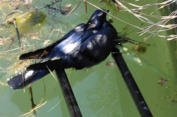 Önce kurtardı, sonra 'Güzelim ne oldu sana' diye sevdi Sulama havuzuna düşen güvercine hayat kurtaran müdahale