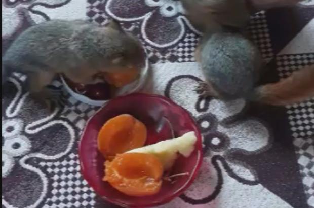 Öksüz kalan yavru sincaplara sahip çıktılar Sivaslı gençler terk edilen yavru sincapları evlerinde süt ve meyvelerle besliyor