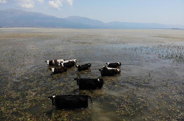 Bu inekler merada değil gölde otluyor Suların çekildiği Işıklı gölünde yüzerek gezebilen inekler, taze otlarla ziyafet çekti