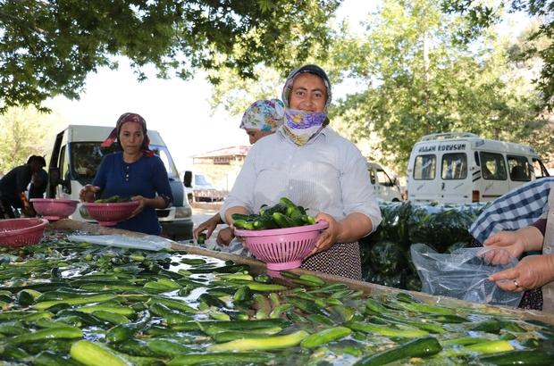 Kahramanmaraş'ta salatalıkta hasat bereketi Soğuk sularda temizlik ve şoklama işlemi yapılan ürün, çevre illere sevk ediliyor