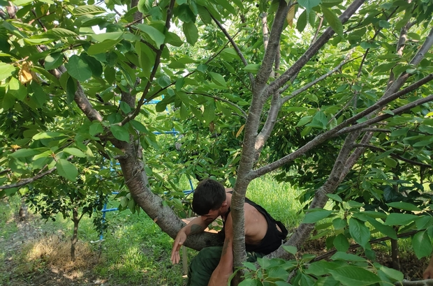 'Hızlı Gonzalez' kiraz ağacında yakalandı 35 olaya karışan 19 yaşındaki genç, kiraz ağacında saklanırken yakalandı