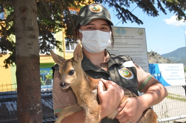 Çobanın bulduğu sakat karacayı, belediye başkanı teslim aldı 15 günlük yavru karaca tedavi altına alındı