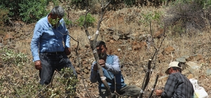 Kilis'te 6 bin menengiç ağacı Antep fıstığına aşılanıyor