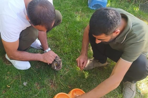 Kanadı kırık Kulaklı Orman Baykuş'u tedavi altına alındı