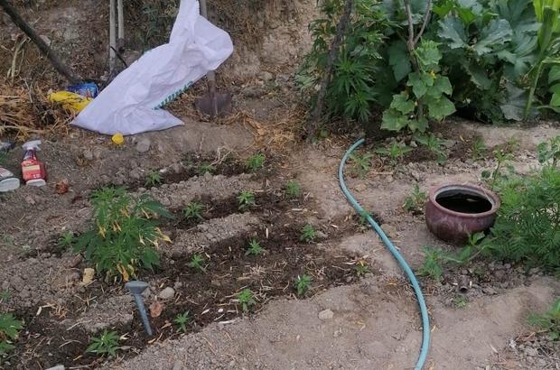 Evinin bahçesinde kenevir yetiştiren yaşlı kadın gözaltına alındı