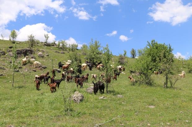Halep keçileri Ordu yaylalarında