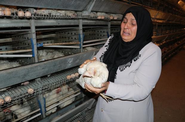 Kahramanmaraş'ta 10 bin tavuk telef oldu, sahibi ağıt yaktı Kahramanmaraş'ta bir tavuk çiftliğindeki fanların arızalanması sonucu havasız kalan yaklaşık 10 bin tavuk telef oldu Çiftliğin sahibi Sevim Demir, telef olan tavukları eline alıp gözyaşı dökerek ağıt yaktı
