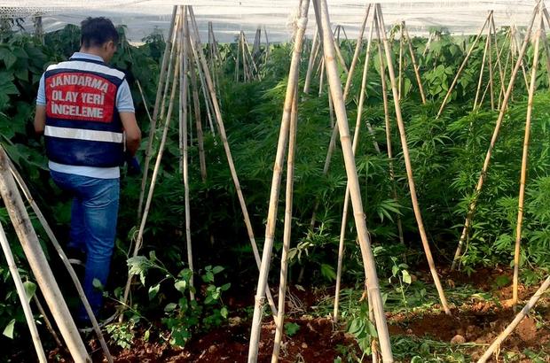 Mersin'de bir serada 2 bin 970 kök kenevir bitkisi ele geçirildi