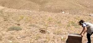 Tedavileri tamamlanan yavru tilkiler doğaya bırakıldı