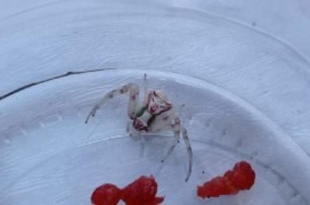 Türkiye'de 8 kez rastlanmıştı, 9'ncusu Sivas'ta görüldü Türkiye'de şu ana kadar 8 tane görüldüğü iddia edilen insan yüzlü örümceğin dokuzuncusu Sivas'ta görüldü