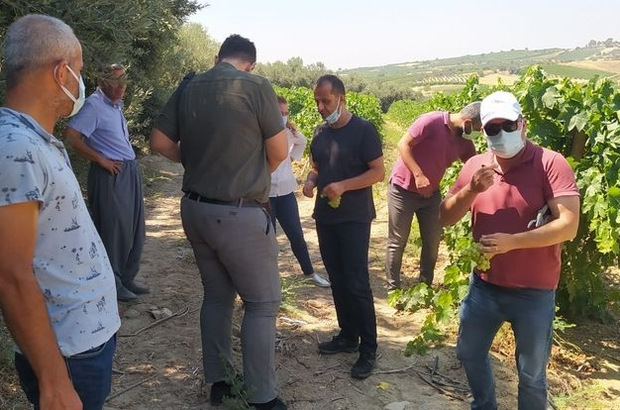 Tarsus'ta üzüm kesimine izin verildi