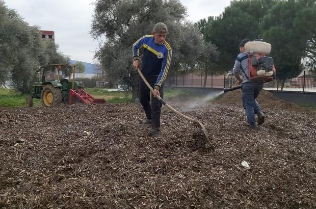 Herkes çöp diye yakıyordu, çok değerli bir gübre olduğu ortaya çıktı Aydın'da her yıl yakılarak yok edilen tonlarca zeytin yaprağından organik gübre üretilmeye başlandı