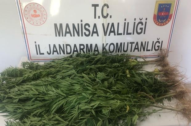 Turgutlu'da jandarma ekiplerinden kenevir operasyonu