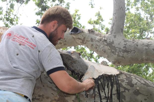 Tekirdağ'daki 32 adet anıt ağaca özel bakım