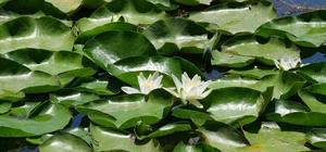 Nilüfer çiçekleri kurtarıldı Nilüfer Gölü ve çevresinden tonlarca atık ve çöp toplandı