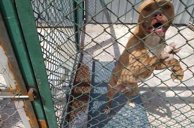 Kütahya'da yasaklı, tehlike arz eden köpek gezdiren şahsın köpeğine el konuldu