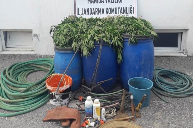 Manisa'da uyuşturucu operasyonu: 475 kök kenevir ele geçirildi