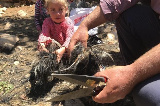 (ÖZEL) Yörüklerin keçi kırkma mesaisi başladı Keçilerin et ve süt verimini artırıyor, kesilen kılların kilosu 1,5 liradan satılıyor Keçi kılı çadır, çuval, çanta, kilim oluyor Toros dağlarındaki göçerler, zorlu yaşam şartlarına rağmen kültürlerini yaşatmaya çalışıyor