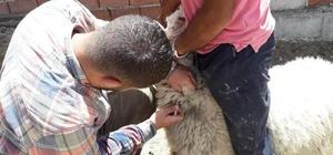 Altıntaş'ta 2 köyde aşı ve küpeleme çalışmaları