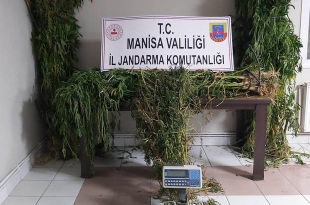 Manisa'da kenevir operasyonu: 313 kök kenevir ele geçirildi
