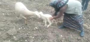 Kaybolan koyunu zabıta ekipleri buldu