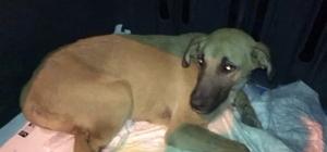Trafik kazasında yaralanan köpek, gece yarısı tedavi için İstanbul'a götürüldü