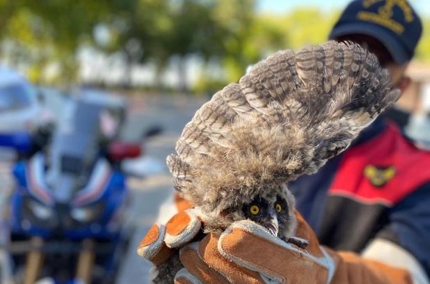 Yaralı baykuşa jandarma sahip çıktı Jandarma ekipleri yaralı baykuşu Doğa Koruma ve Milli Parklar yetkililerine teslim etti