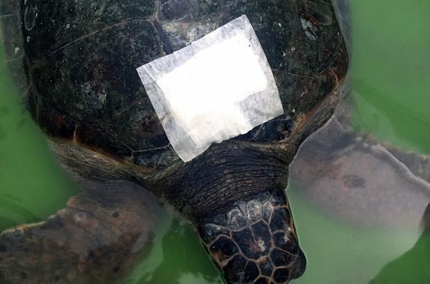 Yaralı kaplumbağa gözlem altına alındı İzmir Güzelbahçe'de itfaiye ekipleri tarafından yaralı olarak bulunan Caretta Caretta deniz kaplumbağası DEKAMER'de gözlem altına alındı.