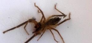 """Konya'da bir evde ortaya çıkan """"et yiyen örümcek"""" paniğe neden oldu"""