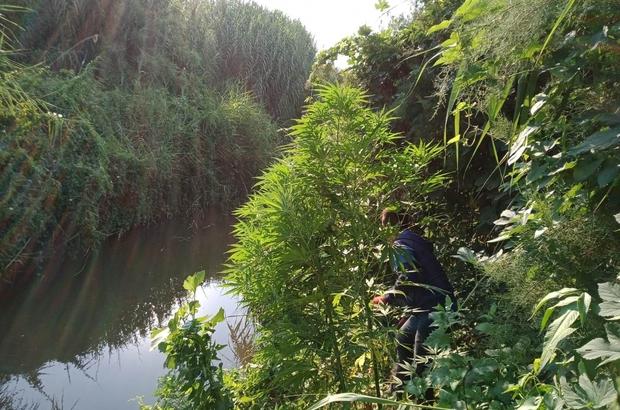 Sulama kanalı çevresinde 203 kök kenevir ele geçirildi