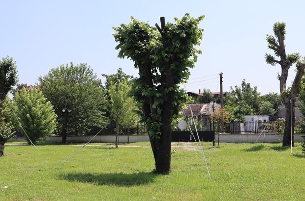 Nakledilen ağaçlar yeşillenmeye başladı