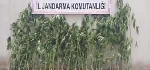 Kiraladığı mısır tarlasına kenevir ekmiş Manisa'da jandarma ekipleri mısır tarlası içindeki kenevirleri drone ile tespit etti