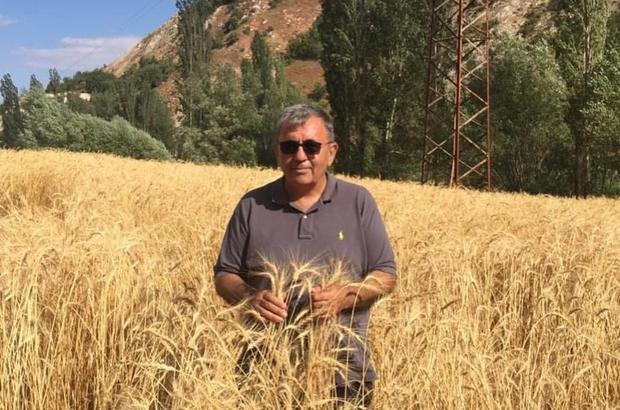 Ata tohumlar yüz güldürecek Yurt genelinde yaşanan kuraklığa rağmen Sivas'ın Zara ilçesinde ata tohum kullanılarak geliştirilen buğday üretiminin yüz güldürmesi bekleniyor