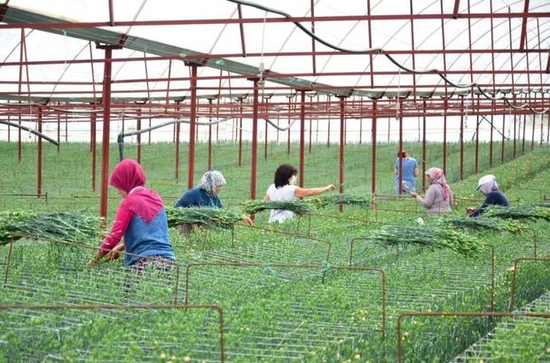 """En kaliteli karanfiller Denizli'de 12 ay boyunca üretilebilecek Denizli'den Avrupa karanfil ihracatı Karanfil yetiştiriciliğine başlayan üretici Mehmet Ali Çağdaş: """"Geliri çok güzel ve satış sorunu yok"""""""
