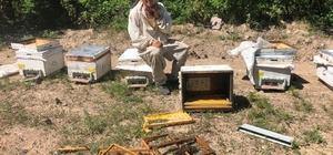 (ÖZEL) Kütahya'da ayılar kovanları parçaladı, arılar telef oldu