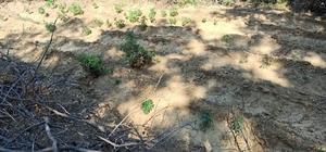 Sarıgöl'de ormanlık alanda 60 kök kenevir ele geçirildi