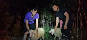 Kaçan 2 kurbanlık koyunu 5 kişilik ekip kayalıklardan kurtardı