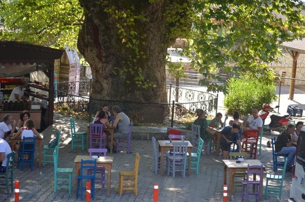 Bayır Mahallesi'nin simgesi çınar ağacı asırlara meydan okuyor Ağacın etrafında 5 tur atanın mutlu haber alacağına ve uzun ömürlü olacağına inanılıyor