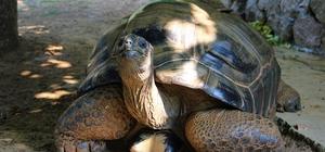 """Bu kaplumbağa Cumhuriyet ile yaşıt 101 yaşındaki kaplumbağaya yıllardır evladı gibi bakıyor Hayvanat bahçesi başbakıcısı Reşat Aydın: """"3 çocuğum var, onlarla hemen hemen aynı tutuyoruz"""""""