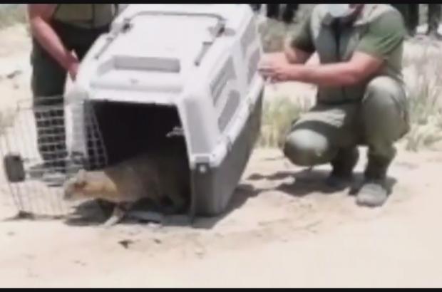 Yaralı bulunan saz kedisi tedavisinin ardından doğaya bırakıldı
