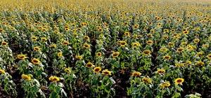 Muş Ovası sarıya boyandı Muş'ta 23 bin dekar alanda ekimi yapılan ayçiçeği kartpostallık manzaralar oluşturdu