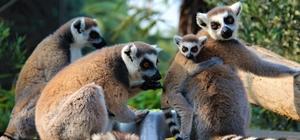 Yavrularını sırtında taşıyan bu nesil tehlike altında Ağaçların kesilmesi lemurların türünü yok ediyor