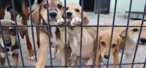Düzce'de 122 köpek sahiplendirildi