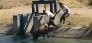 Batman'da su kanalına bir inek düştü, vatandaşlar son anda yetişti
