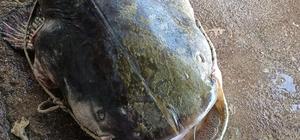 Oltayla 70 kiloluk yayın balığı yakaladı Demirköprü Barajı'nda amatör balıkçı oltayla yakaladı