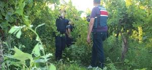Jandarmanın kenevirleri sökmesi 10 saat sürdü JASAT ekipleri, Manisa'da üzüm bağı içinde bin 924 kök kenevir bitkisi ele geçirdi